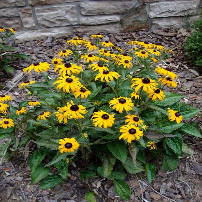 onlineplantcenter-perennials Black-Eyed Susan Plant Wise Home Building