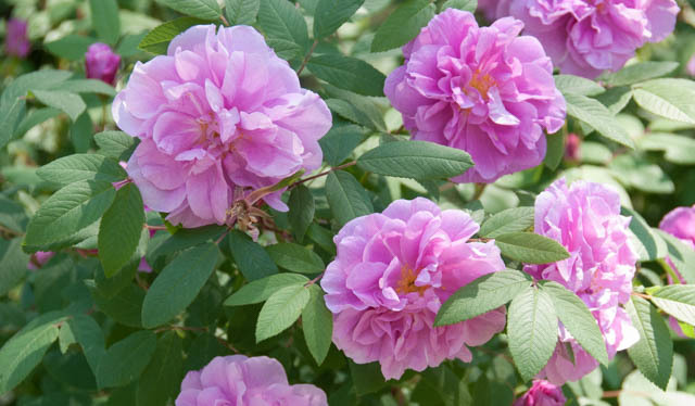 Rugosa Rose Wise Home Building